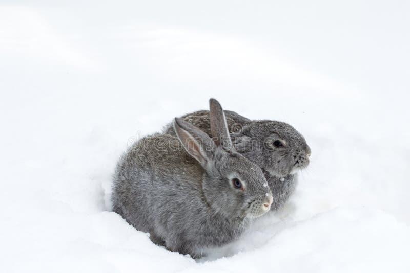 Coelhos macios cinzentos na neve branca do inverno foto de stock