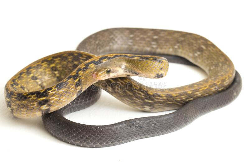 Coelognathus flavolineatus, the black copper rat snake or yellow striped snake, is a species of Colubrid snake found in Southeast. Asia. isolated on white stock images