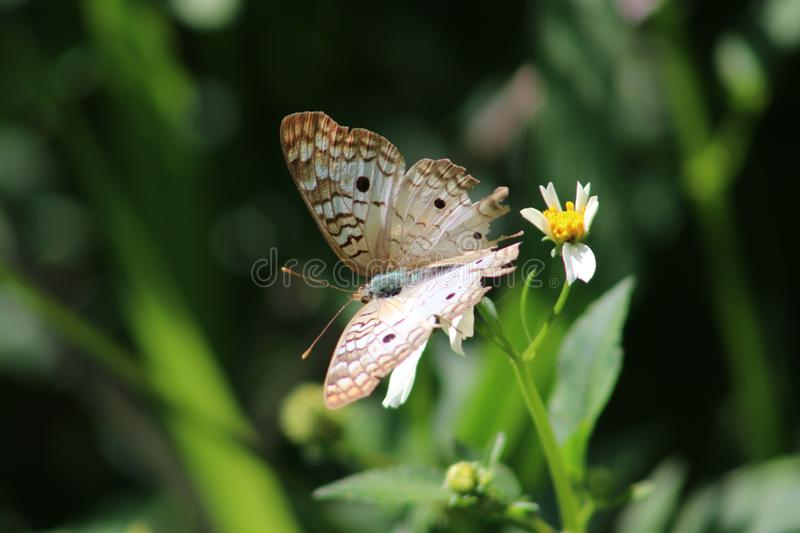Coenonympha on Buttercup. Coenonympha butterfly on buttercup - macro/nature stock image