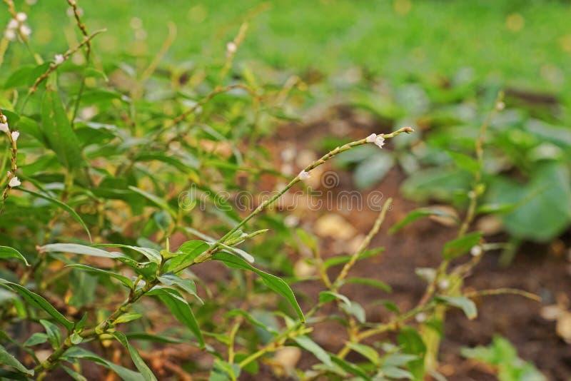 Coentro, vegetal e erva vietnamianos para o asiático imagens de stock