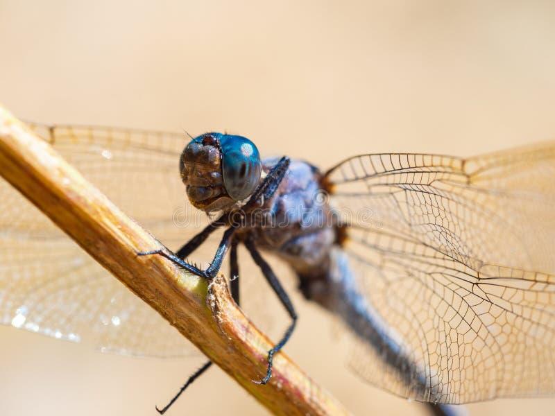 Coerulescens di Orthetrum della libellula che si scaldano al sole su una mattina fresca di estate nella foresta fotografia stock libera da diritti