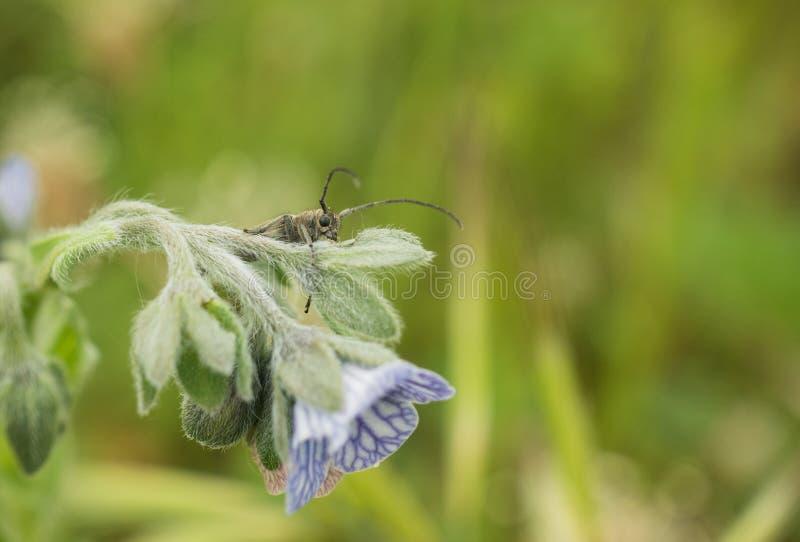 Coerulescens di Phytoecia sulla s-lingua blu del ` del segugio fotografia stock