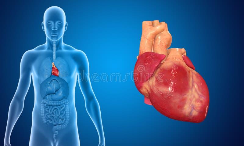 Download Coeur illustration stock. Illustration du biologie, pulmonaire - 45365309