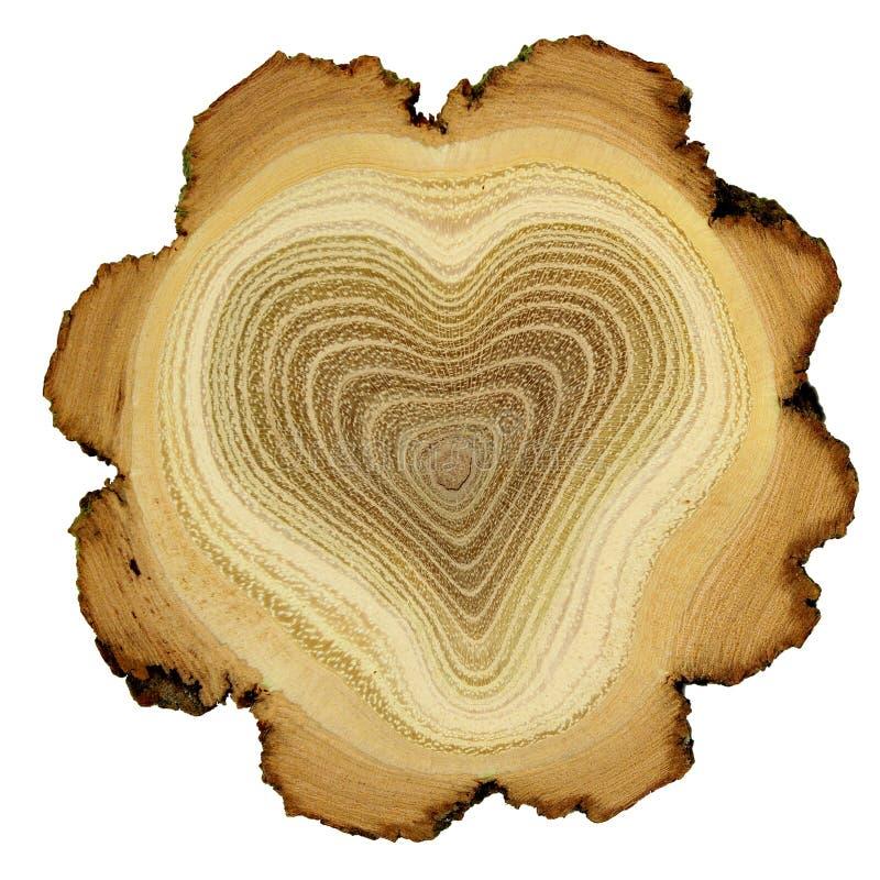 Coeur d'arbre - boucles d'accroissement d'arbre d'acacia - hôtes image stock