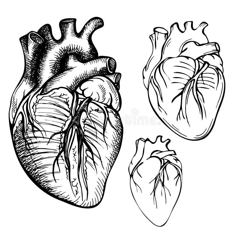 Coeur d'humain d'encre de croquis Illustration anatomique gravée de coeur illustration stock