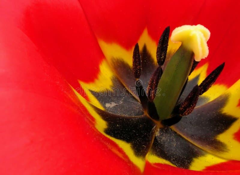 Coeur d'une tulipe images libres de droits