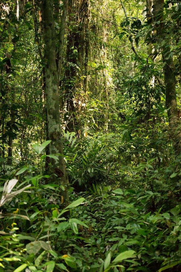 Coeur de forêt tropicale tropicale de l'Afrique, Congo photo stock
