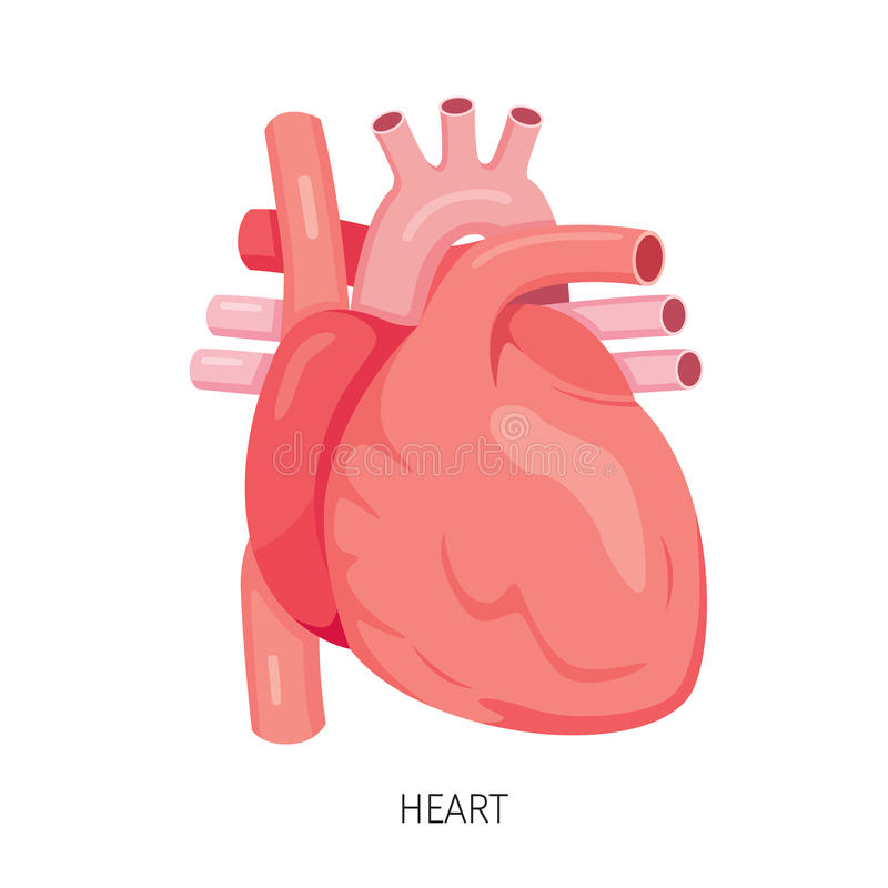 Coeur, diagramme humain d'organe interne illustration libre de droits