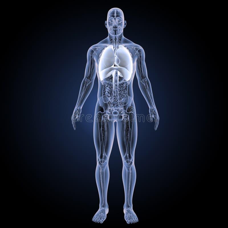 Coeur et appareil respiratoire avec la vue antérieure d'anatomie illustration stock
