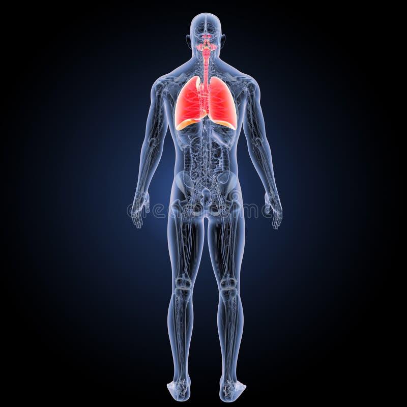 Coeur et appareil respiratoire avec la vue de postérieur d'anatomie illustration stock