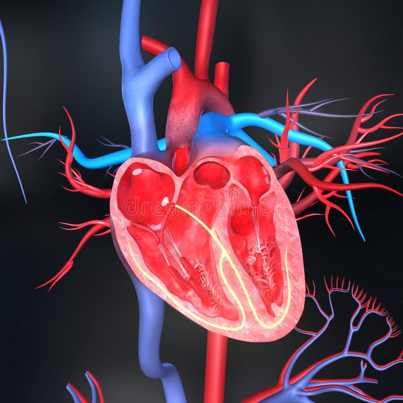 Coeur humain illustration de vecteur