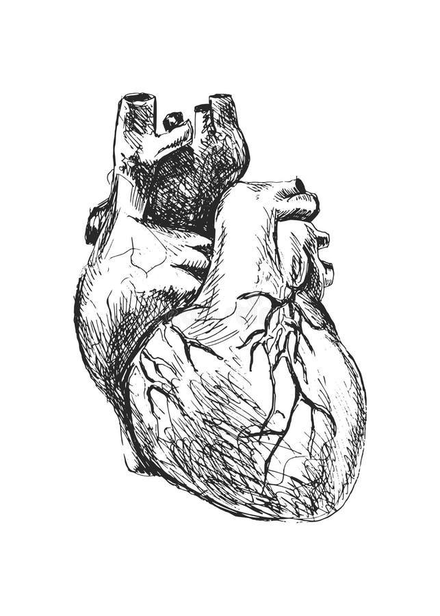 Coeur humain illustration libre de droits