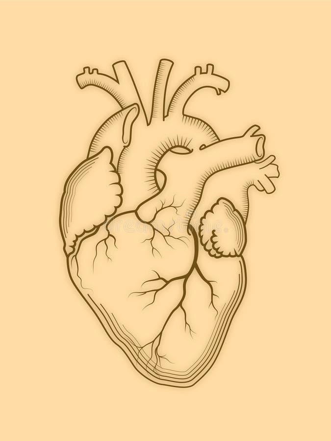 Coeur L'organe humain interne, structure anatomique illustration de vecteur
