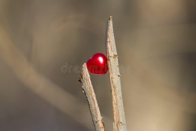 Coeur rouge dans les branches de coupure photos libres de droits