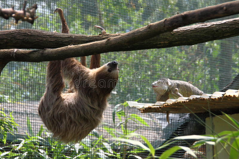 Coexistence of sloth and iguanas stock photography