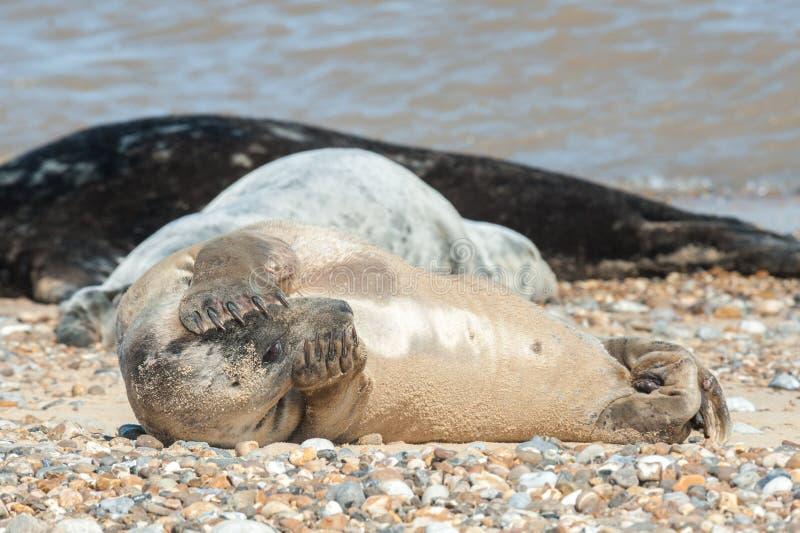 Cofa się fokę na plaży zdjęcie royalty free