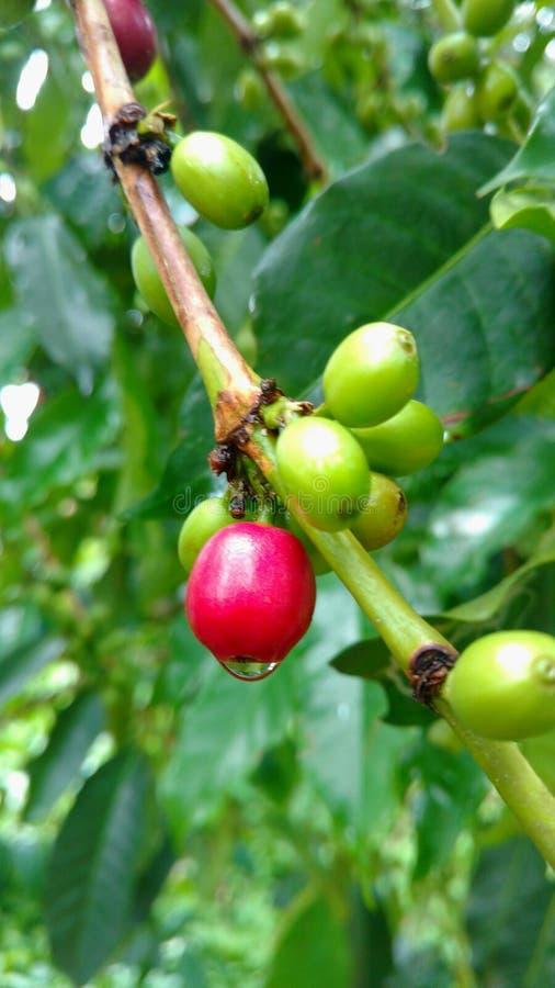 Coffe-Baum mit Bohnen lizenzfreies stockbild