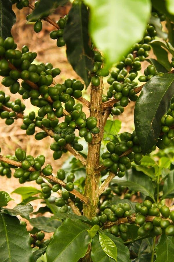 Coffe verde fotografia de stock royalty free