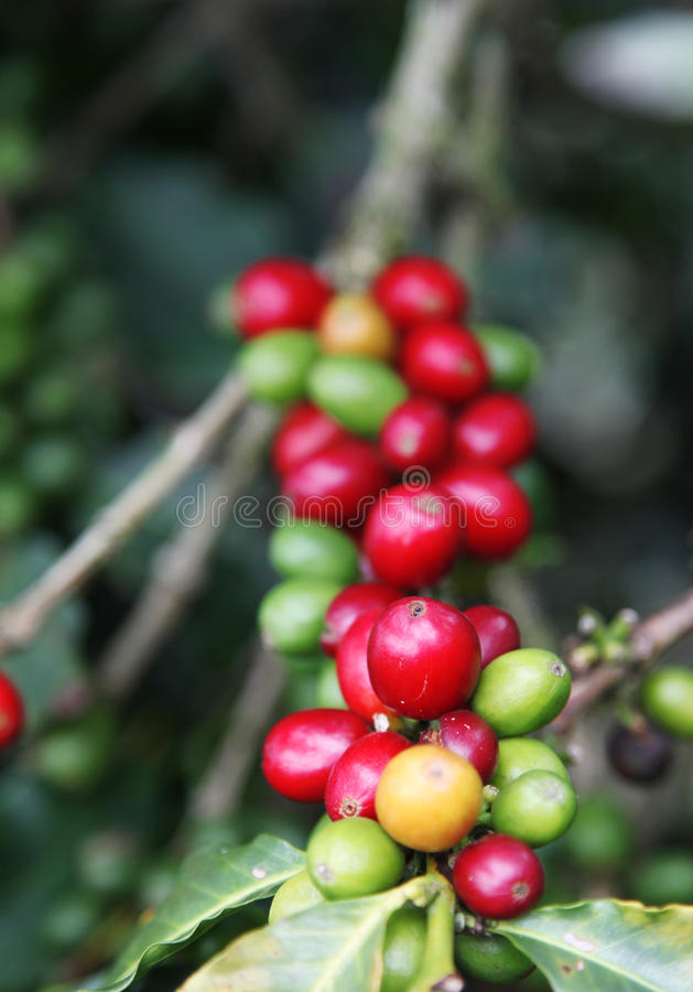 Download Coffee stock image. Image of organic, imported, grain - 11375069