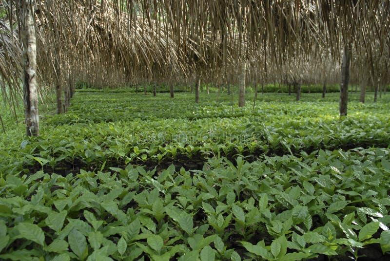 Coffee baby plants-2 stock photo
