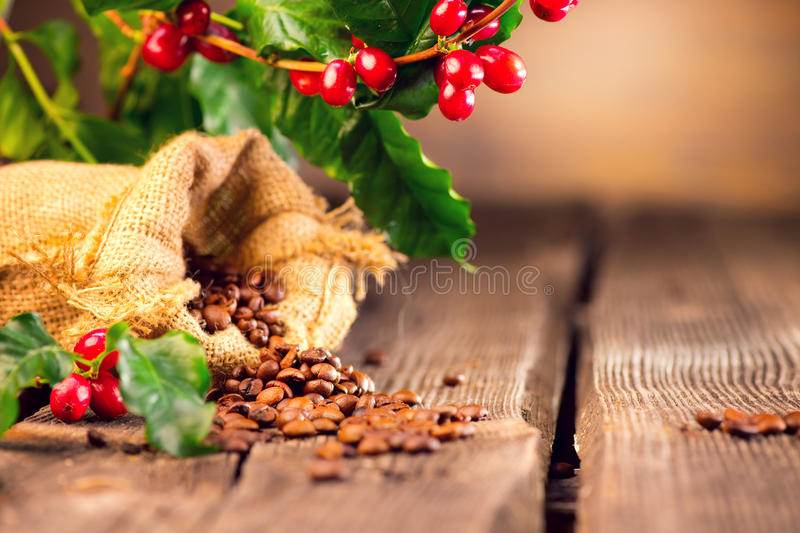 Coffee background. Real coffee plant on wooden table stock photo
