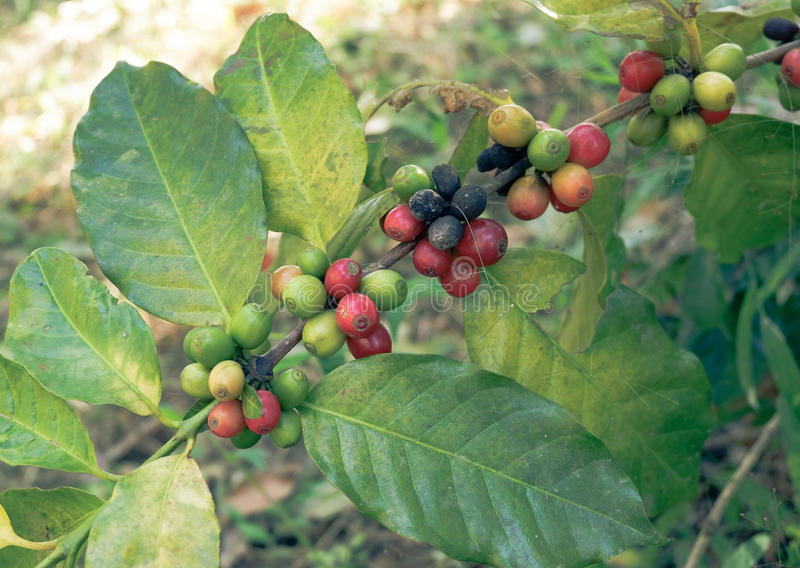 Coffee bean on tree stock photo. Image of kona, hawaii - 83407754