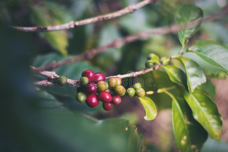 Coffee bean on coffee tree in cafe. Plantation stock photo