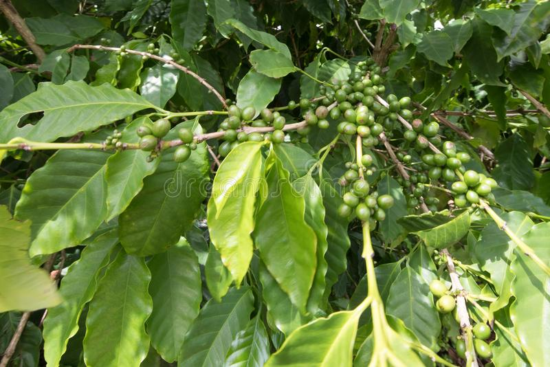 Coffee bean on tree stock photography