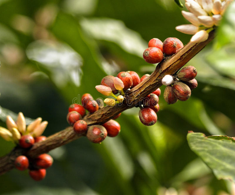 Coffee beans. Flowering branch and coffee beans royalty free stock image