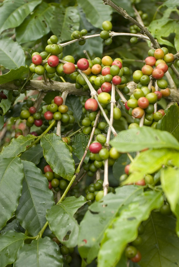 Download Coffee beans stock photo. Image of plantation, beans, agriculture - 3435396