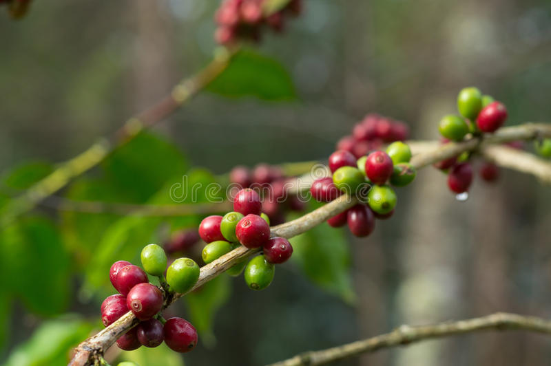 Coffee Beans on Branch royalty free stock photo