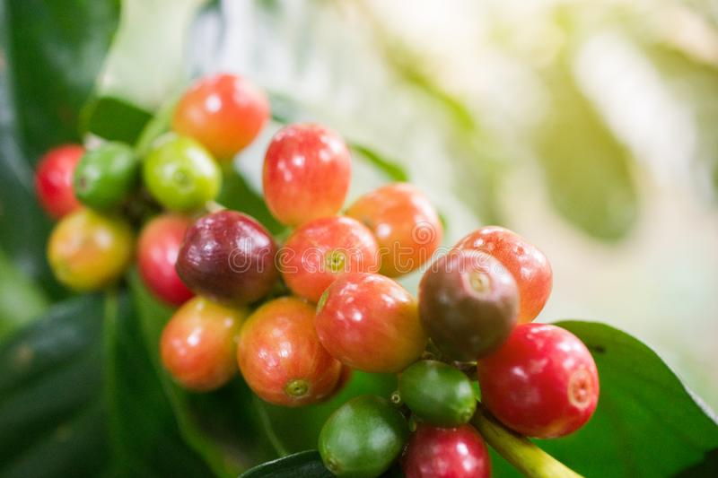 Coffee beans on a branch of tree.Red and green arabica coffee beans ripening on tree in coffeee plantation in the North of. Thailand stock image