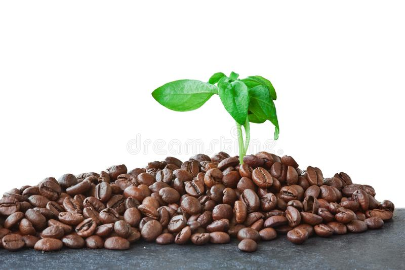 Coffee beans with coffee leaves isolated on white background stock images