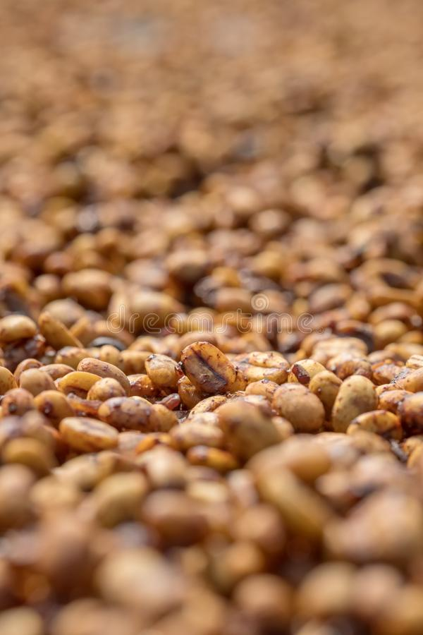 Coffee beans drying at sun stock image