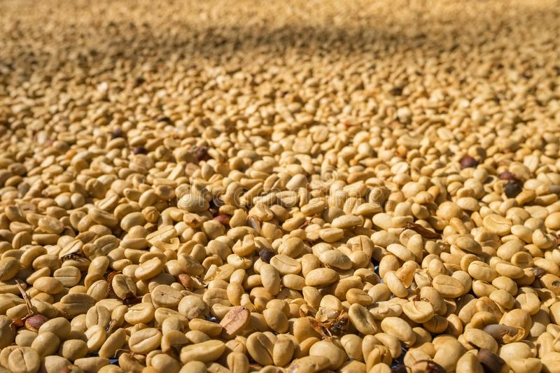 Coffee beans drying in the sun stock image