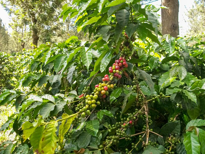 Coffee Beans, Fresh Green and Red Mature Coffee Beans On Tree. Fresh Green and Red Mature Coffee Beans On Tree stock images