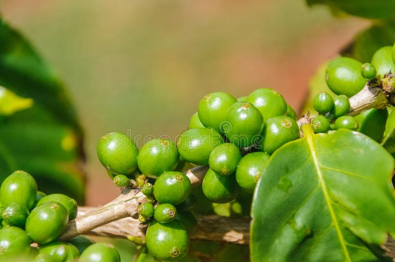 Coffee beans grow on a branch royalty free stock photo