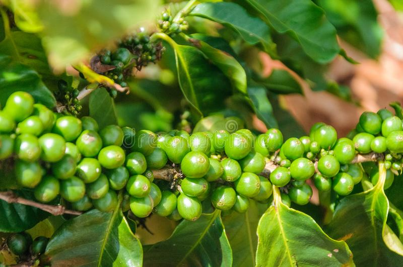 Coffee beans grow on a branch royalty free stock image