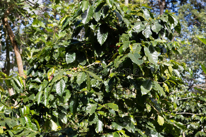 Download Coffee Beans In  Plantation Stock Photo - Image: 83709360
