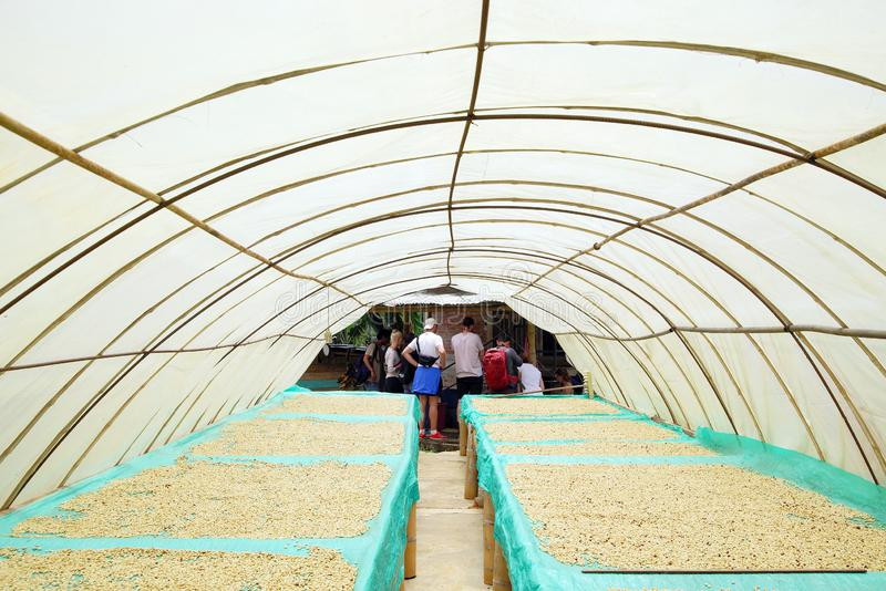 QUINDIO, COLOMBIA, 15 AUGUST, 2018: Coffee tour in Quindio coffee cultures. Coffee beans drying in the sun. stock photography