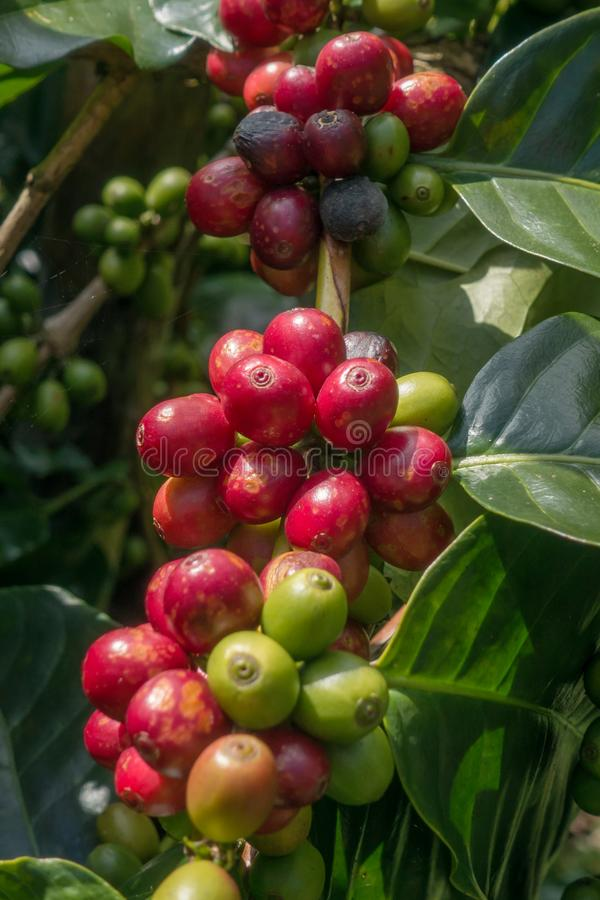 Coffee beans ripening stock image