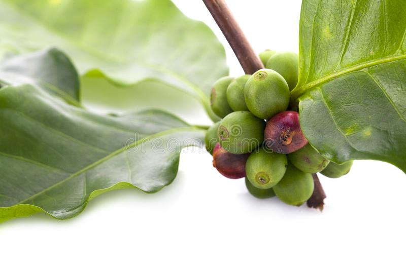 Coffee beans ripening, fresh coffee,red berry branch, industry agriculture on tree in North of thailand stock photography