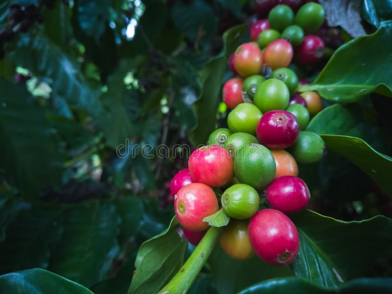 Coffee beans ripening, fresh coffee on Tree royalty free stock image