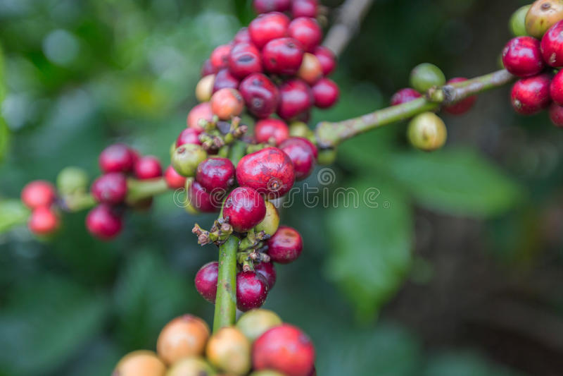 Coffee beans ripening on tree in Dalat, Vietnam. stock image