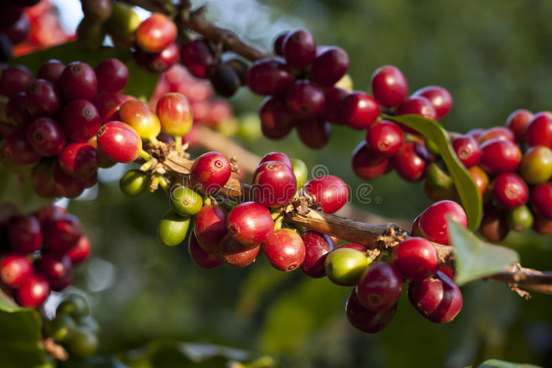 Coffee berry stock photography
