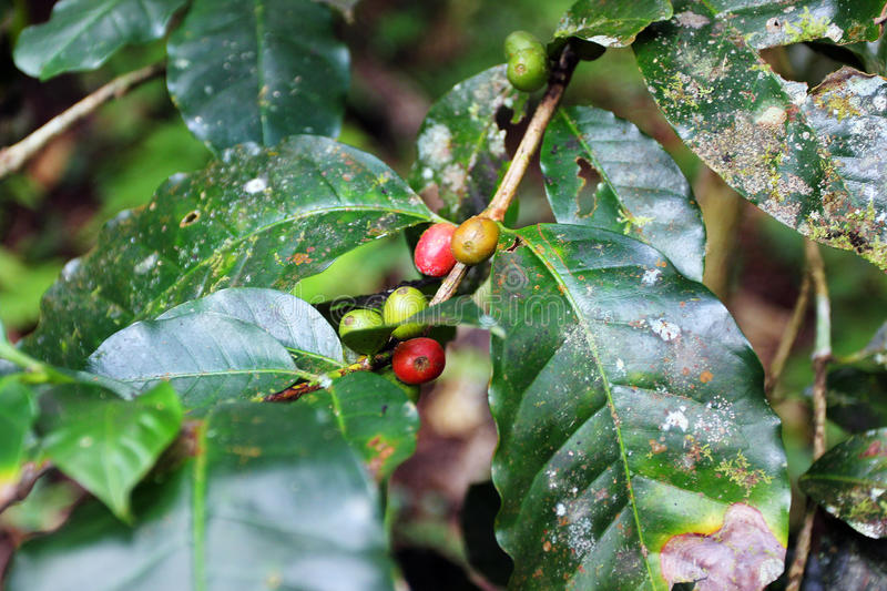 Coffee branch - bio. Red coffee berries / beans on branch, - bio, with unperfect leaves but no pesticides, cultivated within jungle, by a village of East Asia royalty free stock photos
