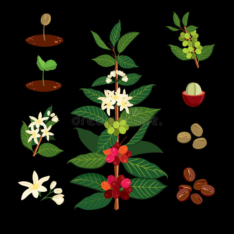 Coffee branch on the background of the map. Plant with leaf, flowers, berry, fruit, seed. stock illustration