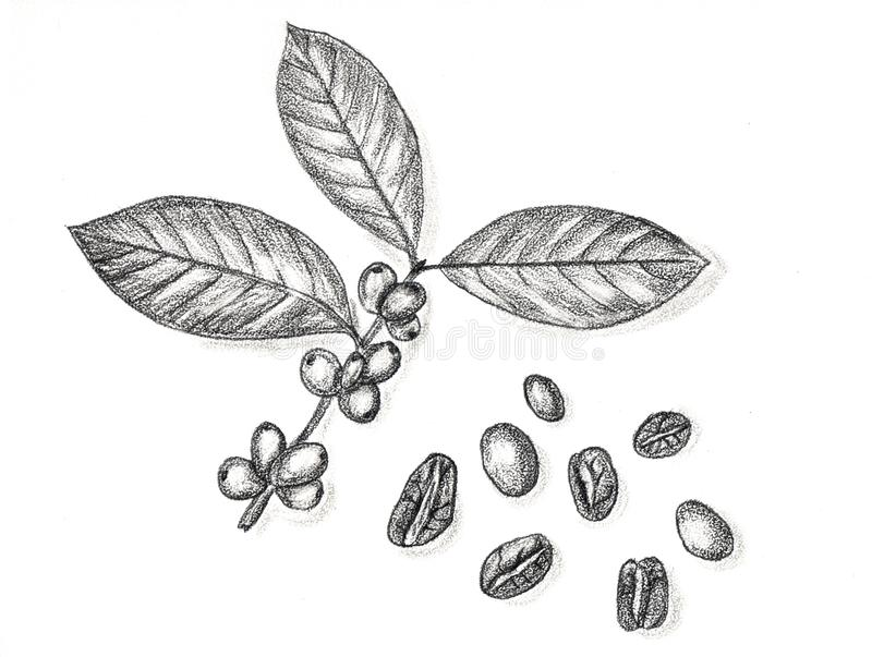 Coffee branch and coffee beans hand draw pencil stock for How to draw a coffee bean