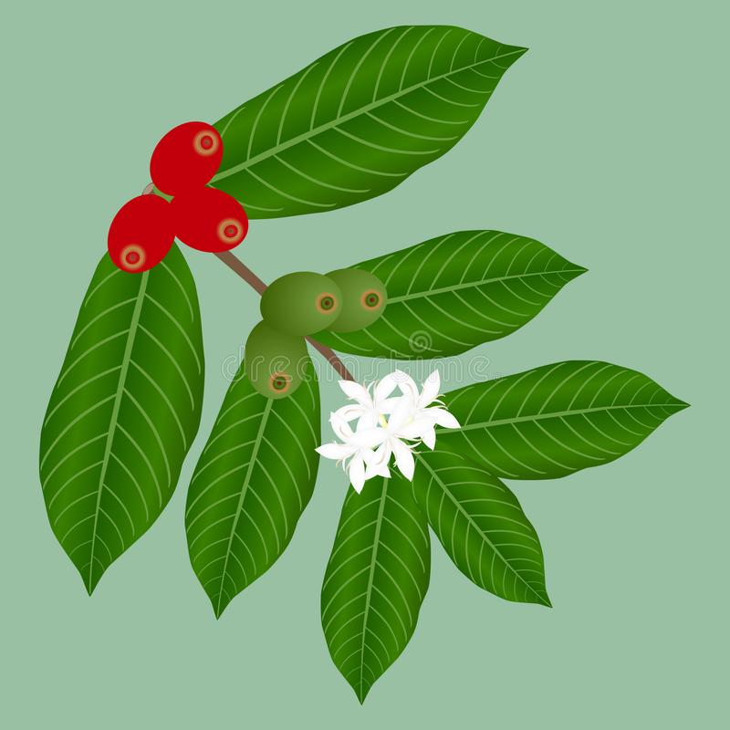 Coffee branch with flowers and red and green berries. vector illustration