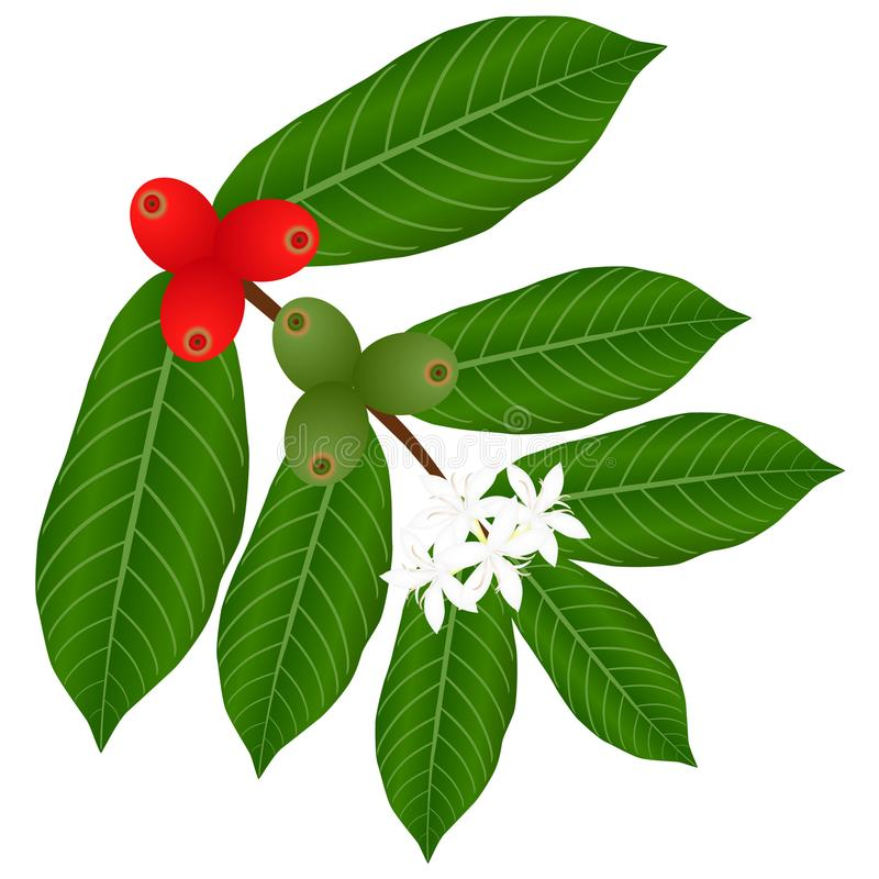 Coffee branch with flowers and red and green berries on a white background. stock illustration